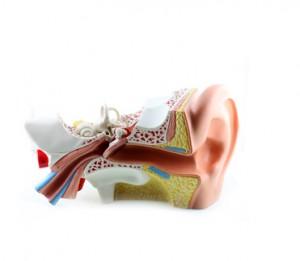 Modell eines Ohres